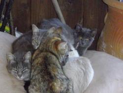 Lamie, chat Chartreux