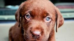 Lamy , chien Labrador Retriever