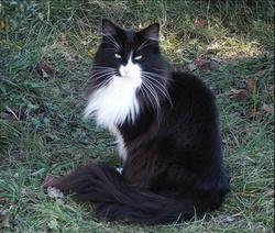 Lamysse, chat Norvégien