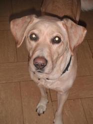 Lana, chien Labrador Retriever