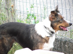 Lana, chien Border Collie