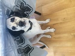 Lana, chien Dalmatien