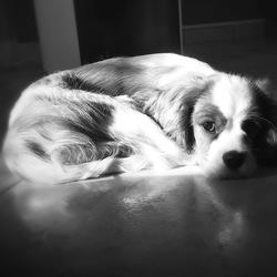 Lancelot, chien Cavalier King Charles Spaniel