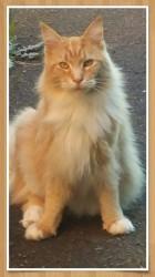 Lancelot, chat Maine Coon