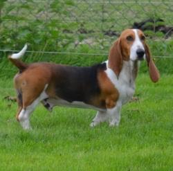 Lancelot De La Petite Dordogne, chien Basset artésien normand