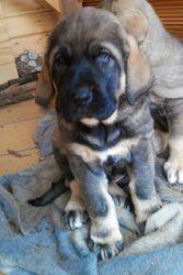 Landa, chien Mâtin espagnol