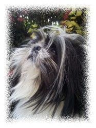 Lang Song - Léonard, chien Shih Tzu