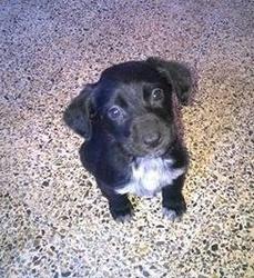 Lania, chien Labrador Retriever