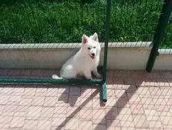 Lanka, chien