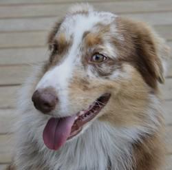 Lanzo, chien Berger australien