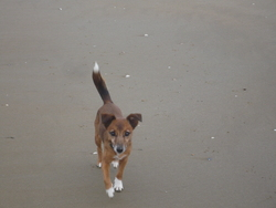 Laouen, chien Jack Russell Terrier