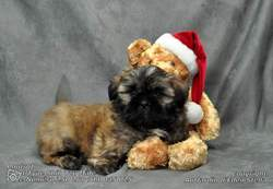 Lapin, chien Lhassa Apso