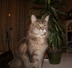 Lapis Lazuli, chat Maine Coon