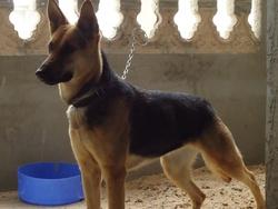 Laquit, chien Berger allemand