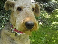 Lara, chien Airedale Terrier
