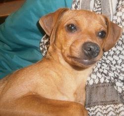 Lara, chien Pinscher