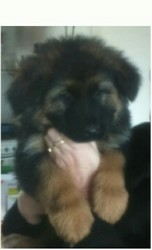 Lara, chien Berger allemand