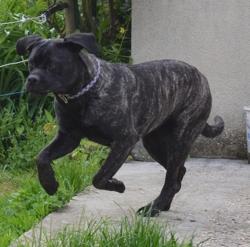 Lara Des Loups Des Carieres, chien Cane Corso