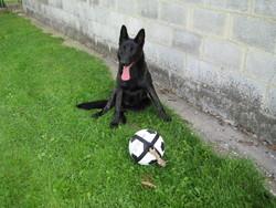 Larco, chien Berger belge