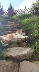 Lardon, chat Européen