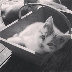 Lardon, chat