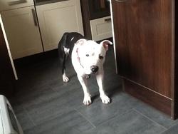 Larès, chien American Staffordshire Terrier