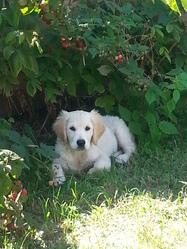 Largo, chien Golden Retriever