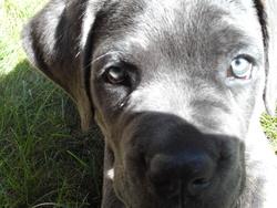 Largo, chien Cane Corso