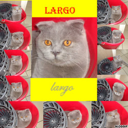 Largo, chat Scottish Fold