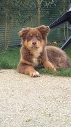 Largo, chien Berger australien