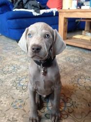 Largo, chien Braque de Weimar
