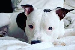 Largo, chien American Staffordshire Terrier