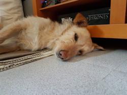 Largo, chien
