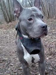 Lari, chien American Staffordshire Terrier