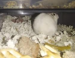 Larissa, rongeur Hamster