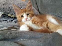 Larnak, chat Maine Coon