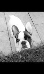 Larra, chien Bouledogue français