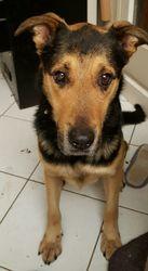 Larry, chien Beauceron