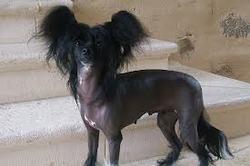 Lary, chien Chien chinois à crête