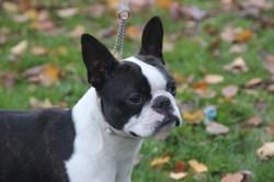 Lascar, chien Terrier de Boston