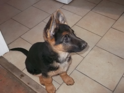 Lascar, chien Berger allemand