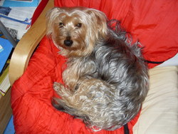 Lasco, chien Yorkshire Terrier