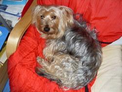 Lasco, chien Yorkshire Terrier
