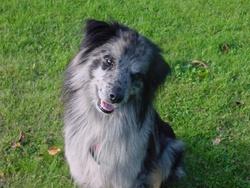 Lasco, chien Berger des Pyrénées