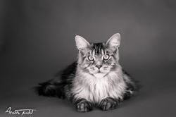 Lashkan, chat Maine Coon
