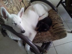 Laska, chien Berger blanc suisse