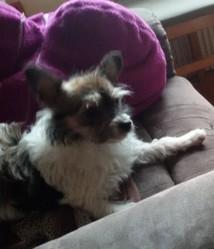Laska, chien Chihuahua