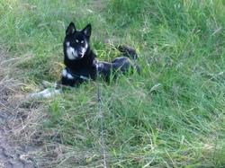 Laska, chien