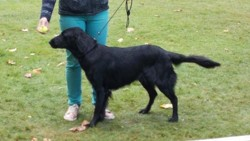 Laska, chien Flat-Coated Retriever