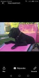 Laska, chien Cane Corso